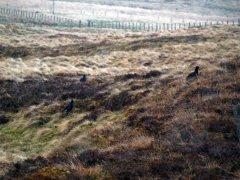 Black grouse at Allargue