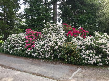 2 Rhododendrons in bloom Allargue